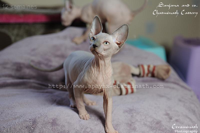 chaton sphynx